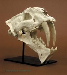 Zoologie Knochenpr 228 Parate Fossil Pr 228 Historisch